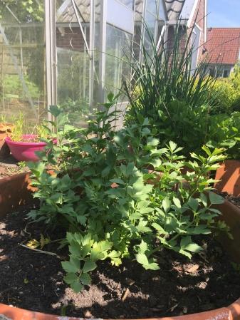 Maggiplant uit eigen tuin!